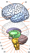 braindiagram-01.png