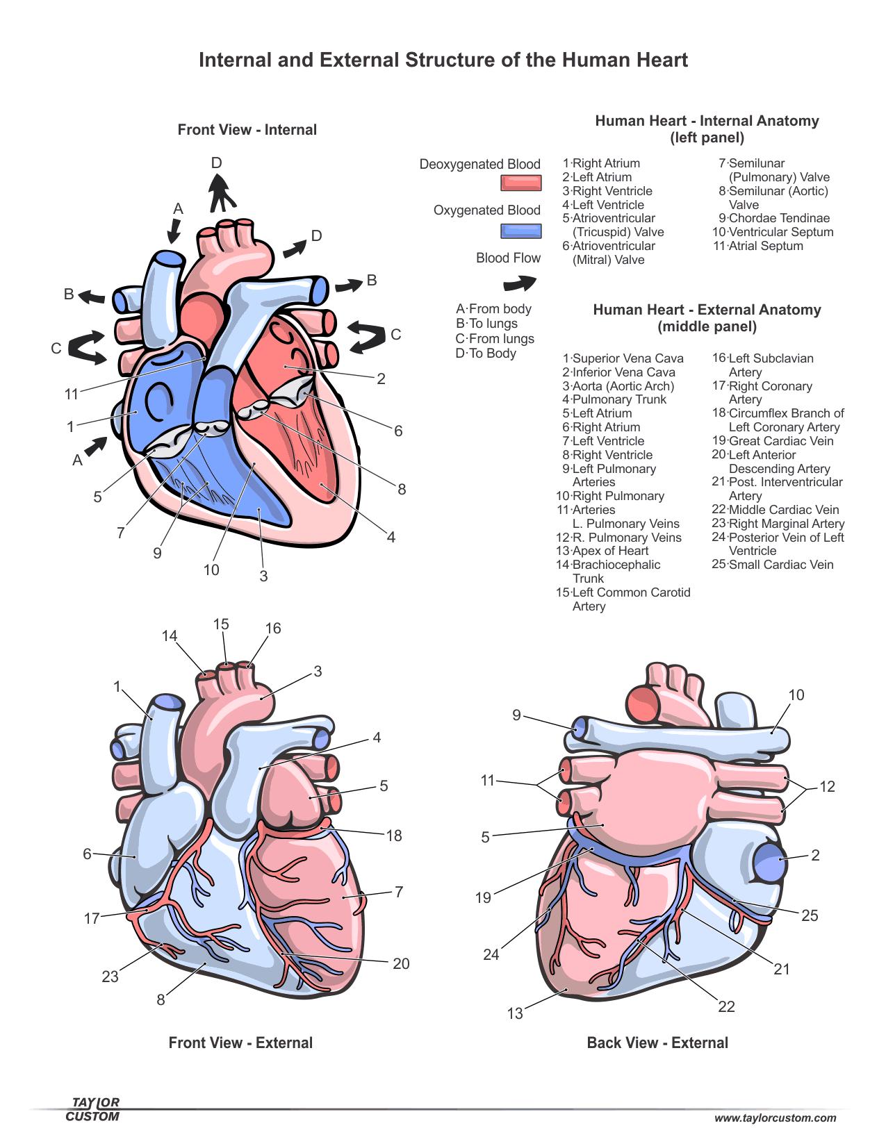 Gross Anatomy Of Urine Transport U00b7 Anatomy And Physiology Wiring Diagram
