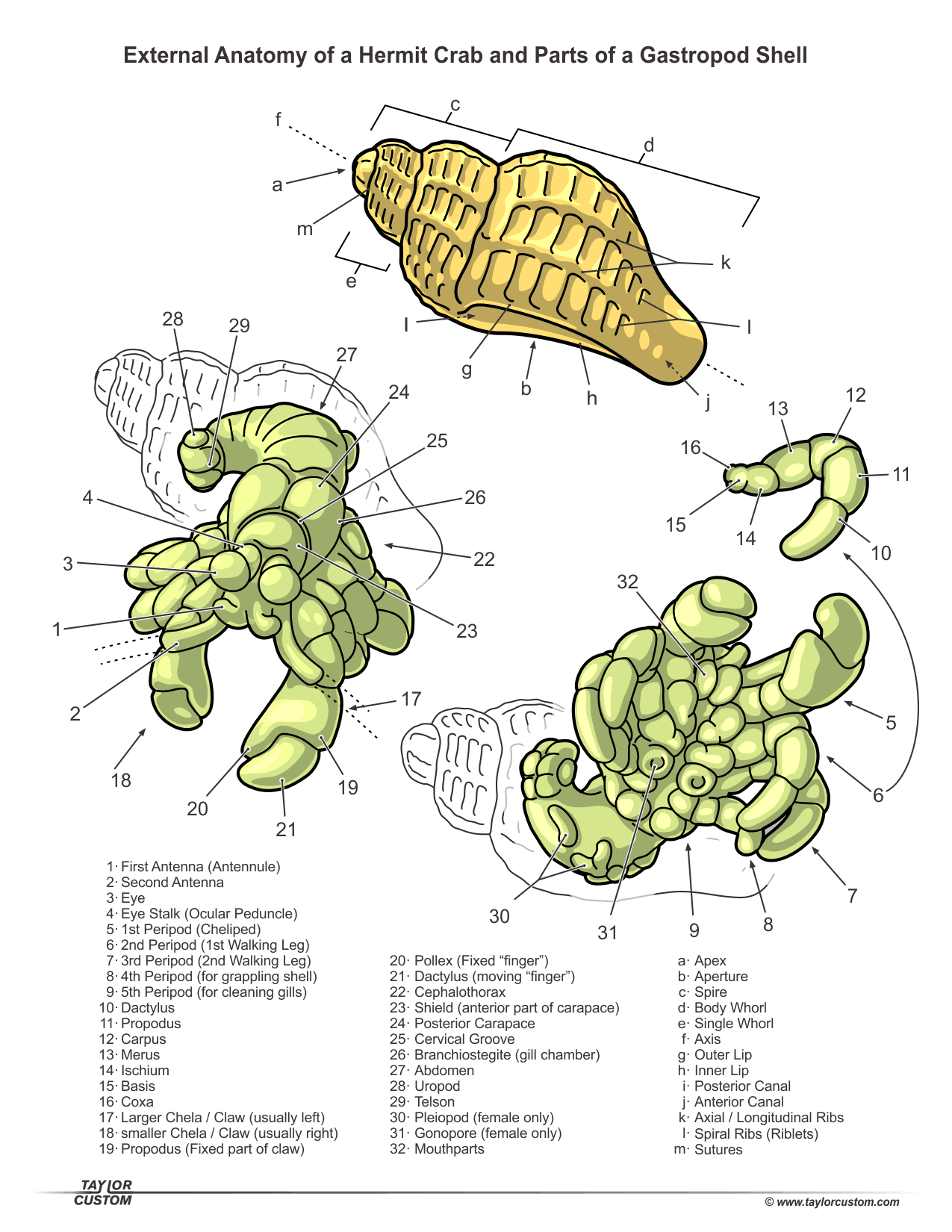 diagram hermit crab taylorcustom diagrams and documents