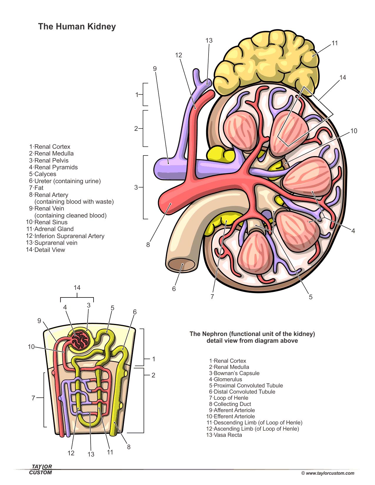 Kidney anatomy glomerulus 9989216 - follow4more.info
